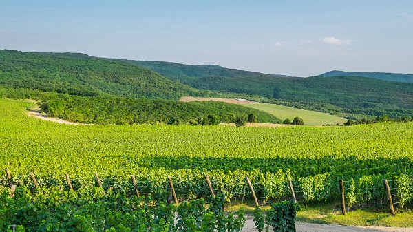 Массандровские виноградники